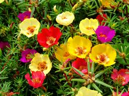 Portulacagrandiflora