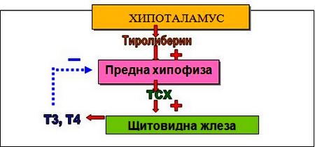 ТСХ-тиротропин