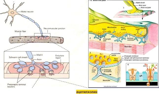 ацетилохин