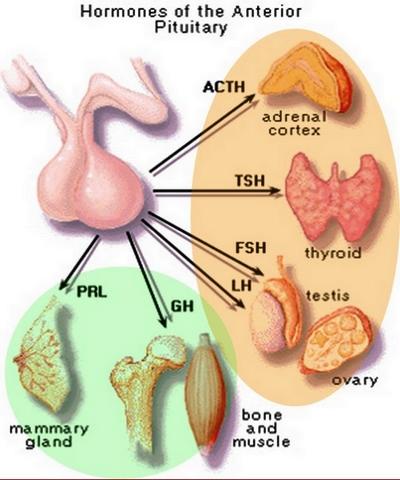аденохипофизни хормони