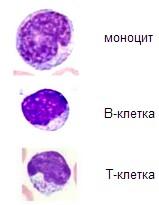 агранулоцити