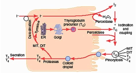 биосинтеза и секреция на щитовидните хормони
