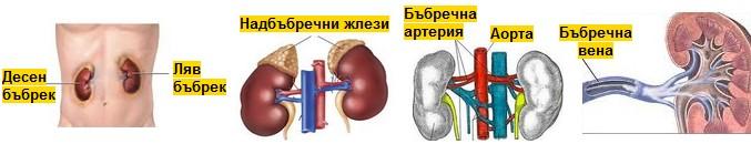 бъбречна артерия и бъбречна вена
