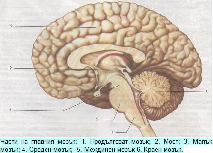части на главния мозък