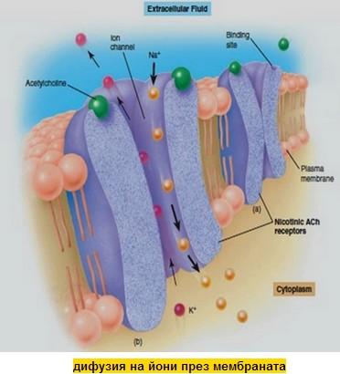 дифузия на йони през мембраната