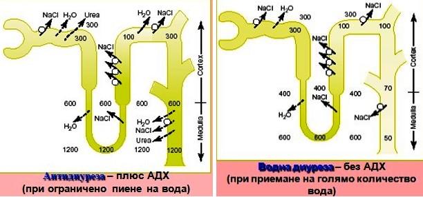 диуреза и антидиуреза