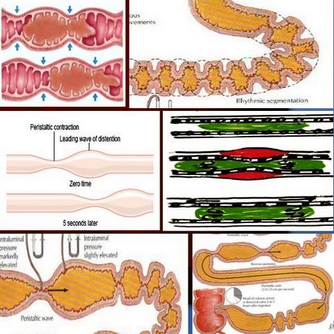 двигателна активност на тънкото черво