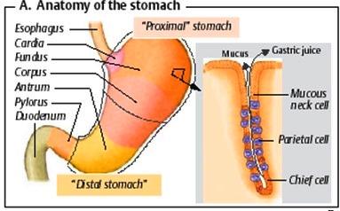 двигателна функция на стомаха