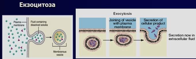 екзоцитоза