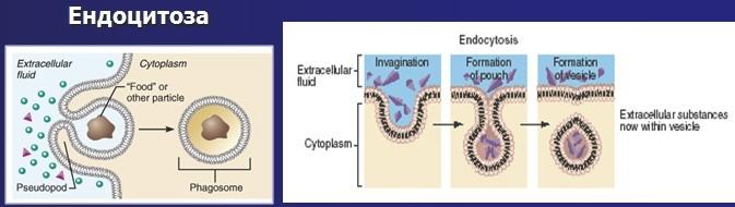 ендоцитоза