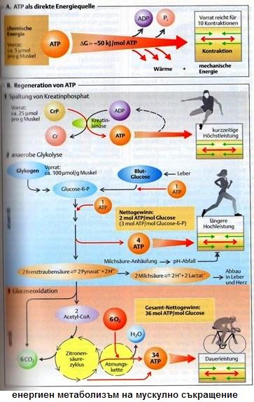 енергиен матаболизъм на мускулното съкращение