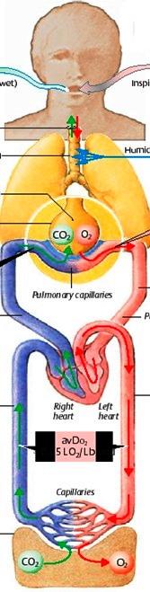 етапи на дихателния процес