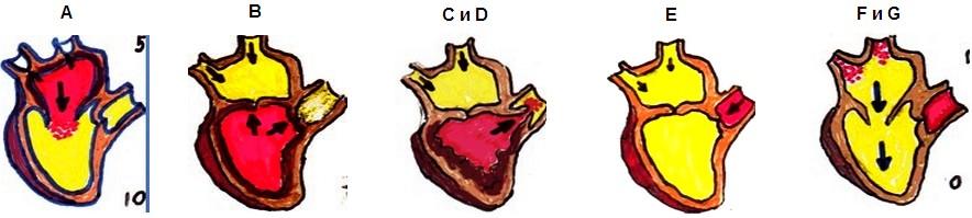 фази на сърдечния цикъл