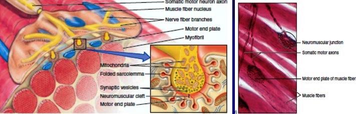 функционална морфология на скелетните мускули