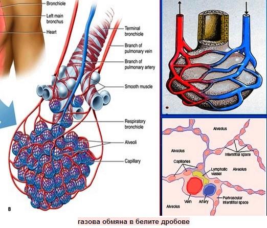 газова обмяна в белите дробове
