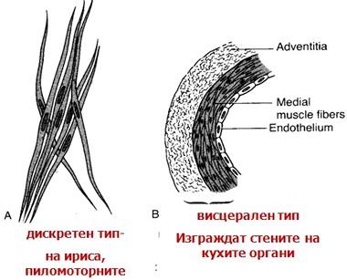 гладки мускули