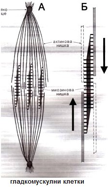 гладкомускулни клетки