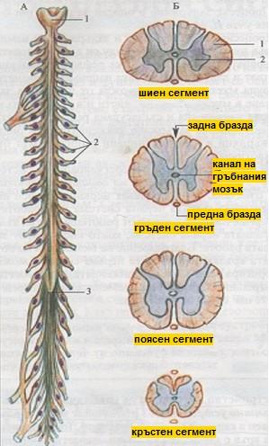 гръбначен мозък