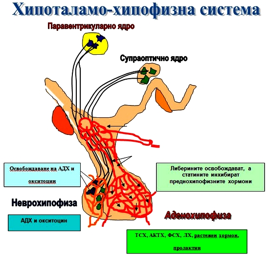 хипоталамо-хипофизна система