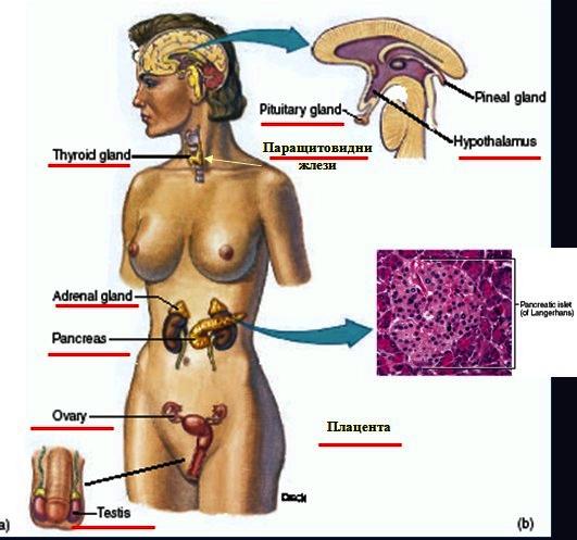 хормони и ендокринни жлези