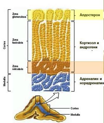 хормони на надбъбречната жлеза