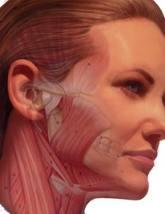 анатомия на челюстта