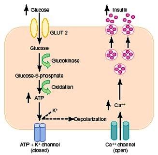 инсулин-регулация на секрецията