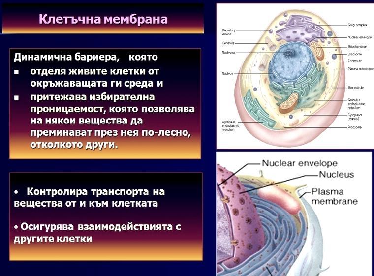 клетъчна мембрана