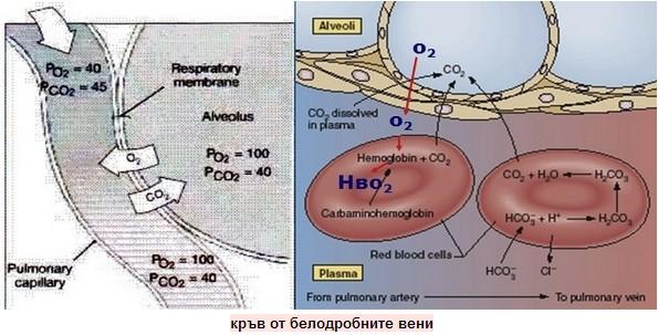 кръв от белодробните вени