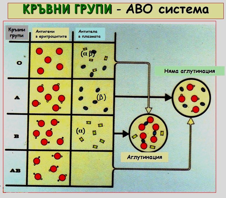 кръвни групи и аглутинация