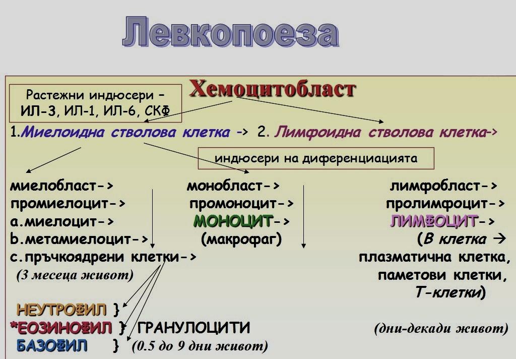 левкопоеза