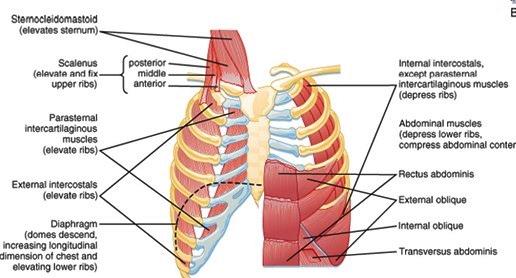 механика на дихателните движения
