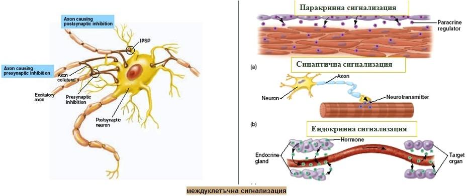 междуклетъчна сигнализация