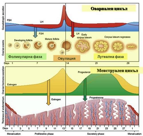 менструален цикъл
