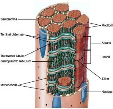 миофибрили