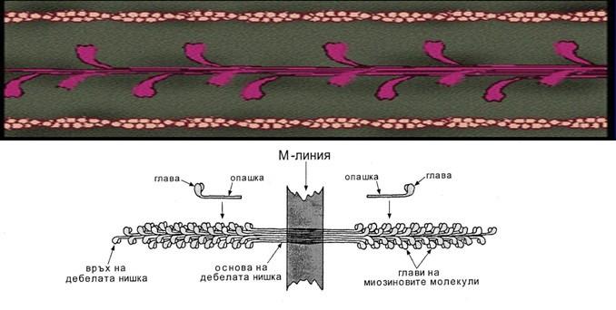 миозинов миофиламент