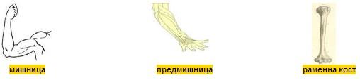 мишница предмишница раменна кост