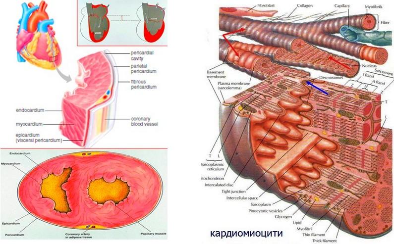 морфология на сърцето и миокарда