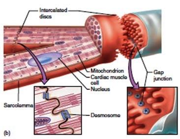 морфология на миокарда