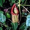 месоядно растение