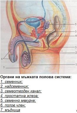 мъжки полови органи