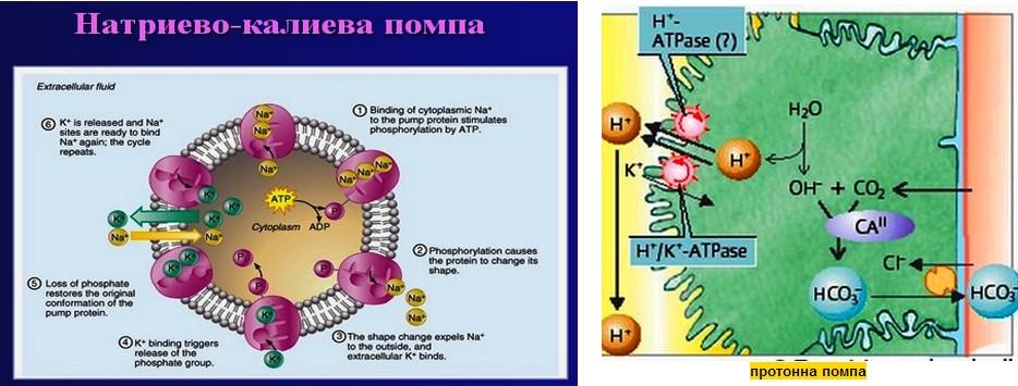 натриево калиева помпа и протонна помпа