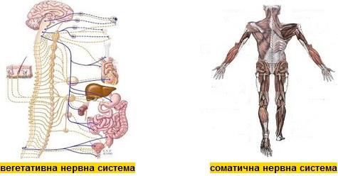 видове нервна система