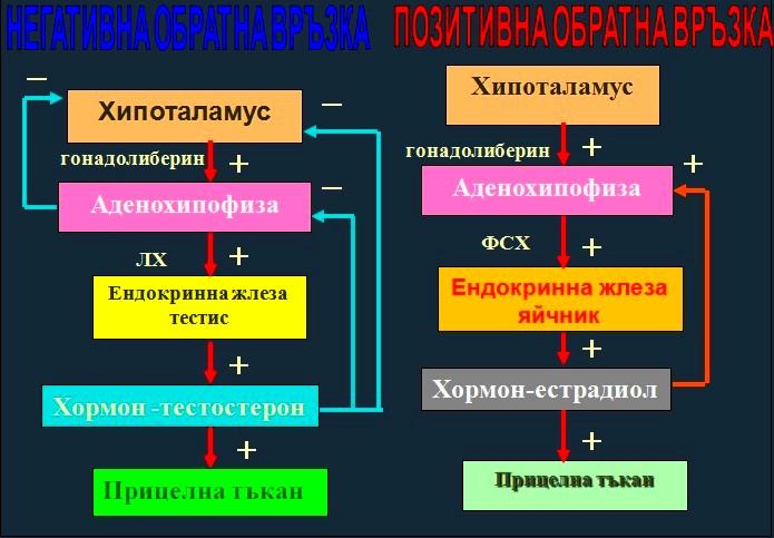общи принципи на регулация на хормоналната секреция