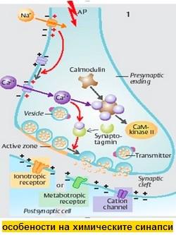 химически синапс