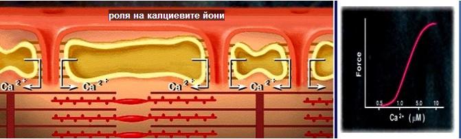 роля на калциевите йони