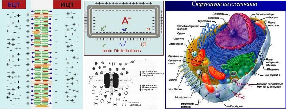 структура на клетката