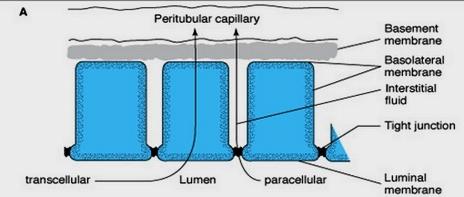 транспорт през епителните структури