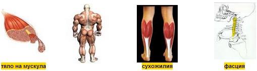 устройство на мускула