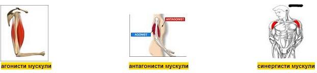 видове мускули